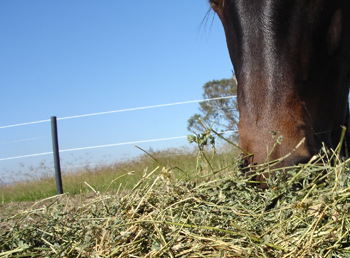 Filly eating Lucerne Hay